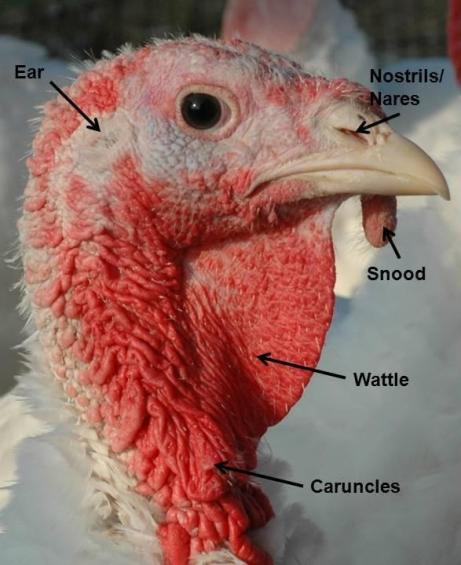 I suppose I should just be grateful I don't have a snood and caruncles