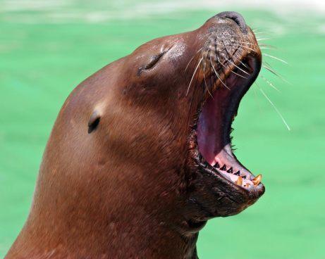 Sea_Lion_Yawn