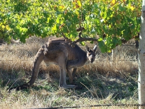 kangaroo-stealing-the-wine-grapes-mission-beach