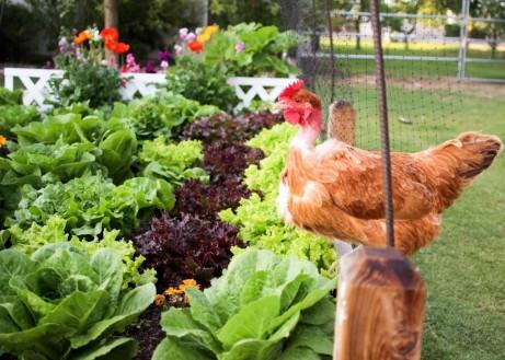 chicken-garden