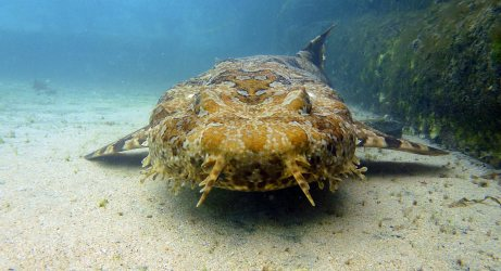 Hang on, sorry, that's a wobbegong. My bad.