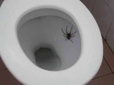 spider-in-toilet-4