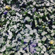 Those frozen pansies in Atlanta from yesterday's blog.