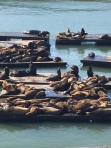 The sea lions at Pier 39.