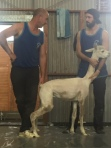 We caught a heat of the Australia vs New Zealand alpaca shearing contest.