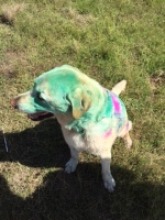 Milly the dog wore a sign all weekend requesting that no one feed her ... being bombed with colour on the run was a totally different story ...