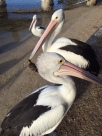 This isn't a photo on zoom. The pelicans at Woy Woy are so zen they let you stand right next to them.