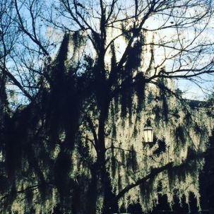 Moss covered tree in Savannah.