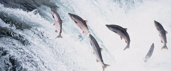18 Aug 1995, Katmai National Park and Preserve, Alaska, USA --- Several salmon jump in Brooks Falls, over which they must swim to reach their spawning grounds. --- Image by © Kevin Fleming/CORBIS