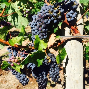 The grapes at Howard Park.