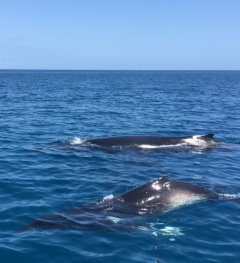 Mum and baby whale swimming alongside our boat.