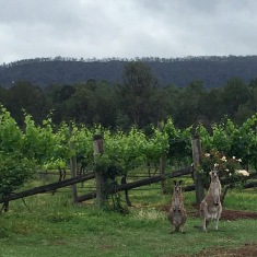 A few more kangaroos ... obssessed.