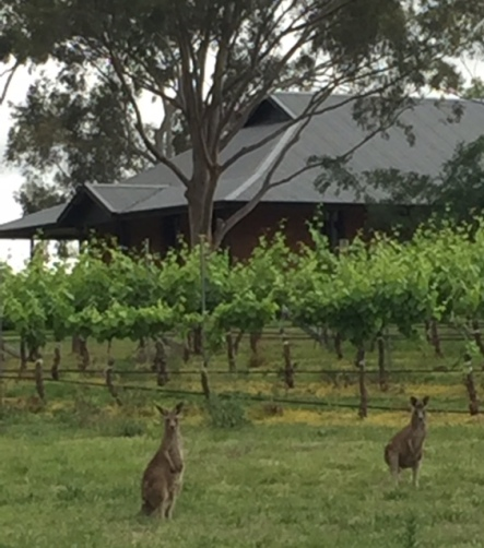 Kangaroos in the foreground, Tinonee in the background.