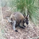 The wallaby.