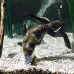 Platypus amazingness.