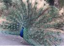 Strutting peacock.