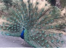 Strutting peacock.