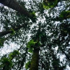 Looking up at the staghorns in the rainforest