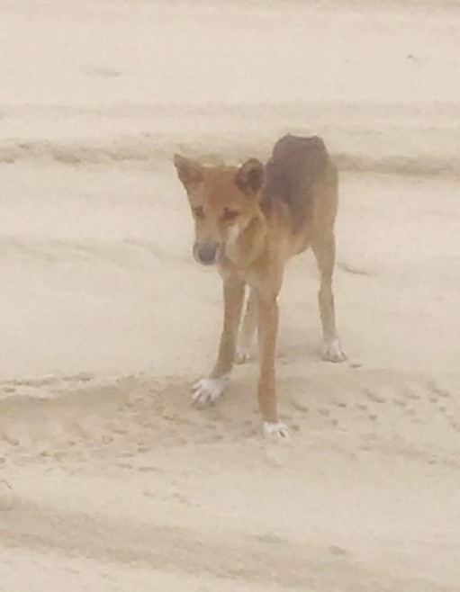 Young dingo on the beach