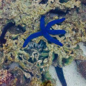 Starfish in a rock pool on Lady Elliot Island
