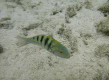 A Picasso fish